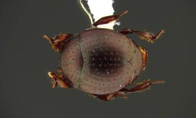 O minúsculo besouro Nymphister kronaueri se prende a uma formiga e vive junto da colônia Foto: D. KRONAUER