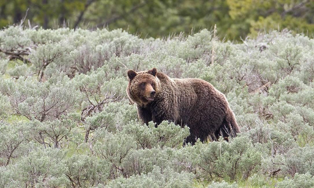 Urso pardo no Parque Nacional de Yellowstone, nos EUA: animais voltam a ficar na mira de caçadores na região Foto: / Serviço Nacional de Parques/Jim Peaco