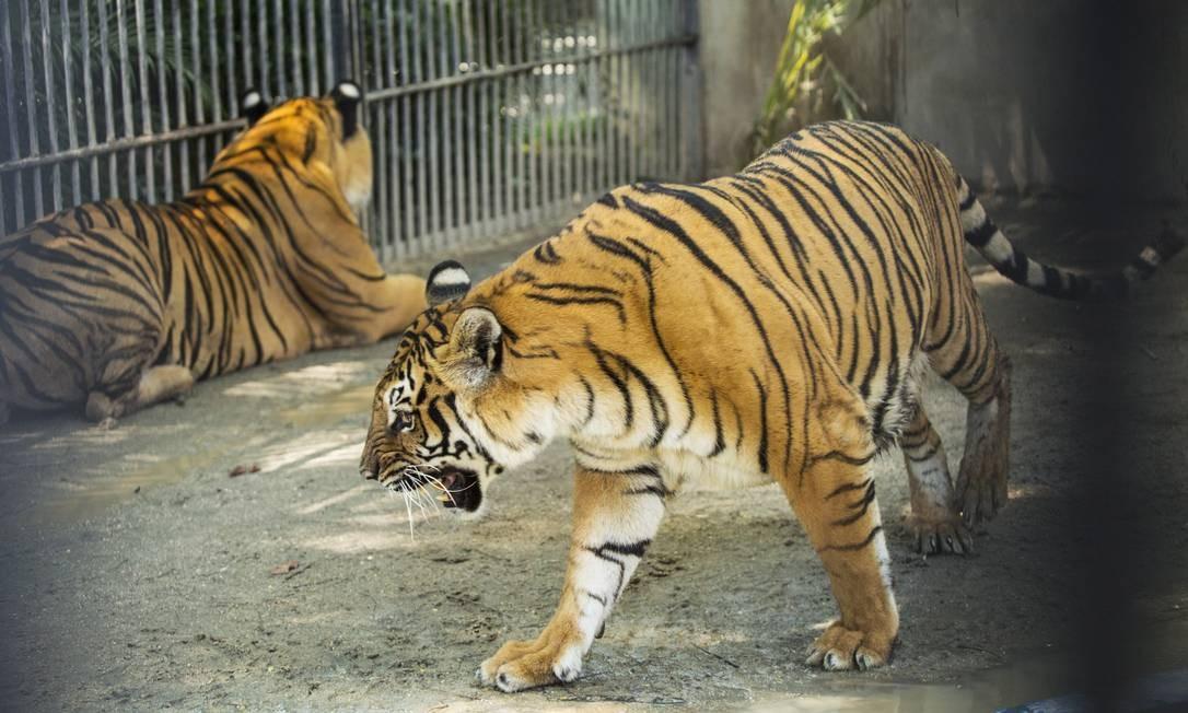 Felinos, como os tigres, ganharão espaço sem grades e com convivência com outras espécies Foto: Ana Branco 20-03-2016 / Agência O Globo