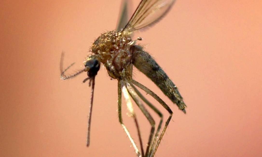 Um dos mosquitos transmissores da malária, do gênero 'Anopheles' : pesquisas voltadas para exames rápidos são o principal vetor do esforço para erradicação da doença Foto: / Robert F Bukaty/20-6-2001