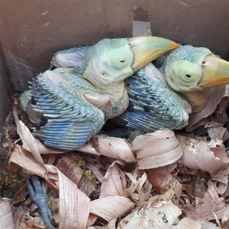 Entre os mais de 4 mil pássaros apreendidos estão filhotes, como esses dois encontrados no México Foto: Interpol