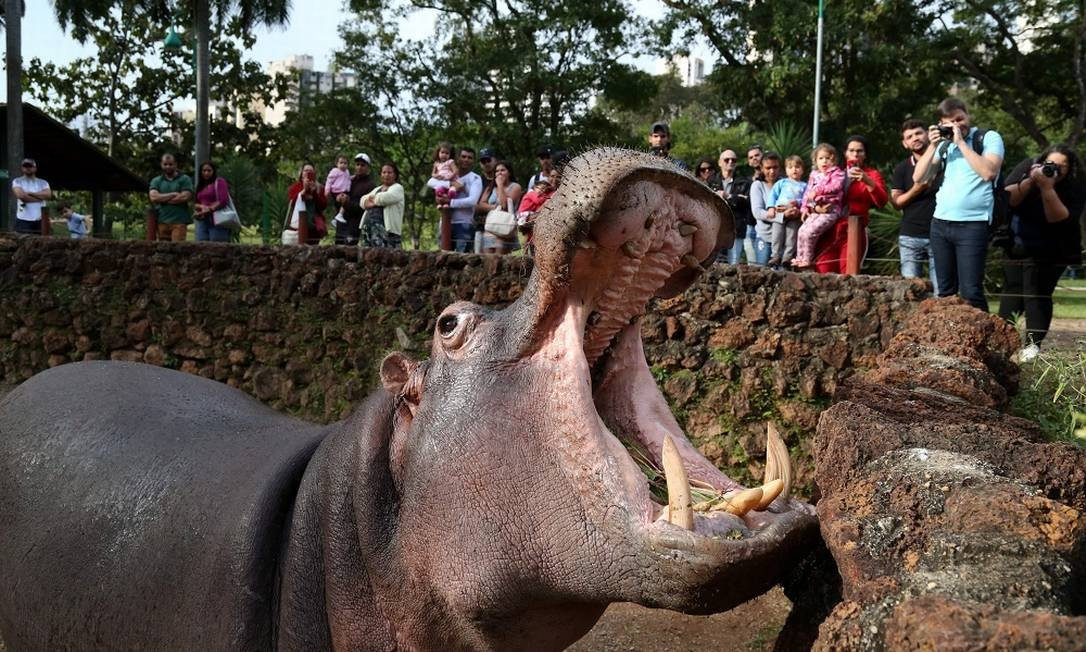 Hipopótamo no Zoológico de Goiânia, um dos 38 parques da cidade Foto: Custodio Coimbra / Agência O Globo