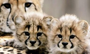 Chitas filhotes, presentes em savana do Quênia Foto: Win McNamee/Getty Images/AFP