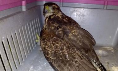 O gavião ferido foi encontrado na Avenida Brasil Foto: Divulgação