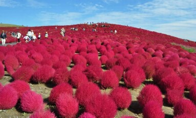 O campo de arbustos kochia, marca registrada do Parque Costeiro Hitachi, perto de Tóquio Foto: JNTO / Reprodução