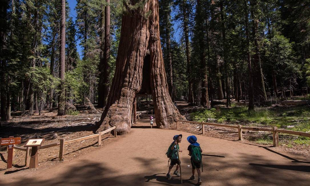 """Crianças brincam na Árvore Túnel (""""Tunnel Tree""""), um dos destaques da Mariposa Grove, área onde ficam as sequoias gigantes do Parque Nacional Yosemite, na Califórnia, reaberto à visitação após três anos Foto: DAVID MCNEW / AFP"""