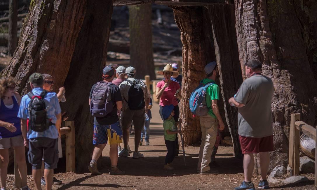 """Com um buraco grande suficiente para um carro de passeio, a Árvore Túnel (""""Tunnel Tree"""") é a mais popular entre os visitantes da Mariposa Grove Foto: DAVID MCNEW / AFP"""