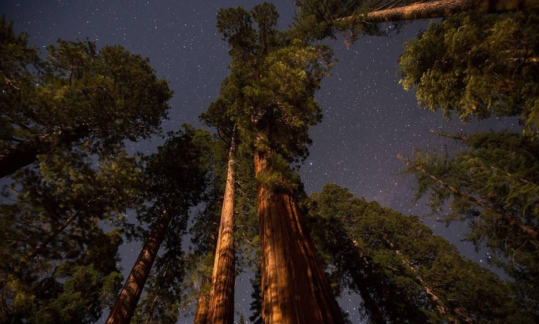 A floresta das árvores gigantes tem 500 sequoias, algumas delas com quase cem metros de altura e dois mil anos de idade Foto: DAVID MCNEW / AFP