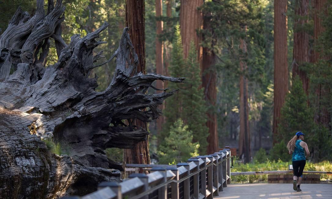 A floresta das sequoias é um dos lugares mais conhecidos do Parque Nacional Yosemite, que fica a apenas quatro horas de distância de São Francisco, na Califórnia Foto: DAVID MCNEW / AFP