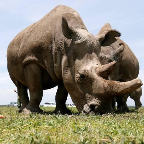 Najin e Fatou, as duas últimas fêmeas de rinocerontes-brancos do norte Foto: Thomas Mukoya / REUTERS