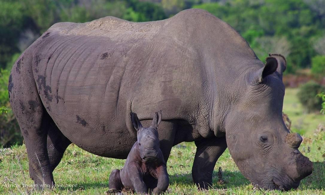 A fêmea de rinoceronte-branco Bella com o filhote, Tank Foto: / Kragga Kamma Game Park