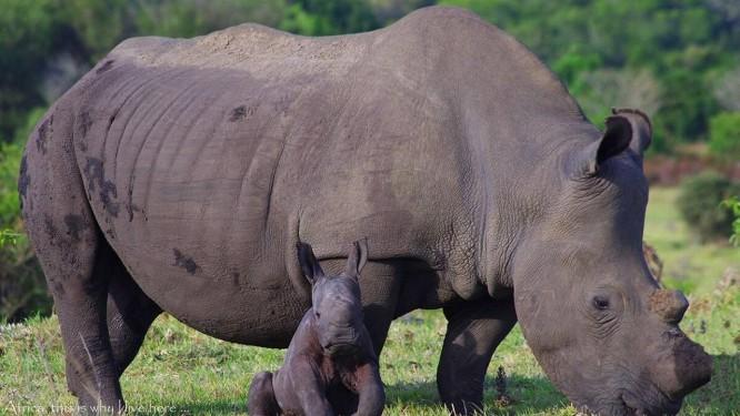 A fêmea de rinoceronte-branco Bella com o filhote, Tank Foto: Kragga Kamma Game Park