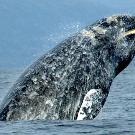 As baleias cinzentas podem ter usado o Mar Mediterrâneo como berçário Foto: Merrill Gosho, NOAA