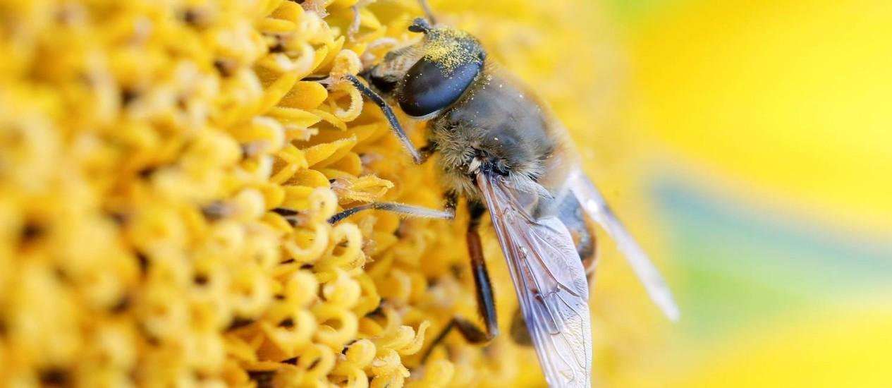 Abelha retira néctar de girassol Foto: ARND WIEGMANN / REUTERS/4-7-2018