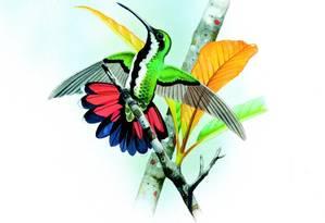 Beija-flor-de-veste-preta é um dos mais coloridos e, provavelmente, o colibri mais comum do país Foto: Divulgação