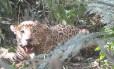 Croissant, um macho adulto de 5 ano que está sendo monitorado no Parque Nacional do Iguaçu Foto: Projeto Onças do Iguaçu