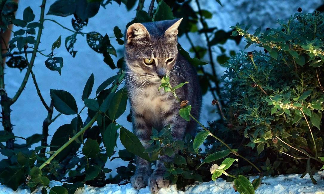 Estima-se que existem 500 milhões de gatos no mundo Foto: LOUISA GOULIAMAKI / AFP