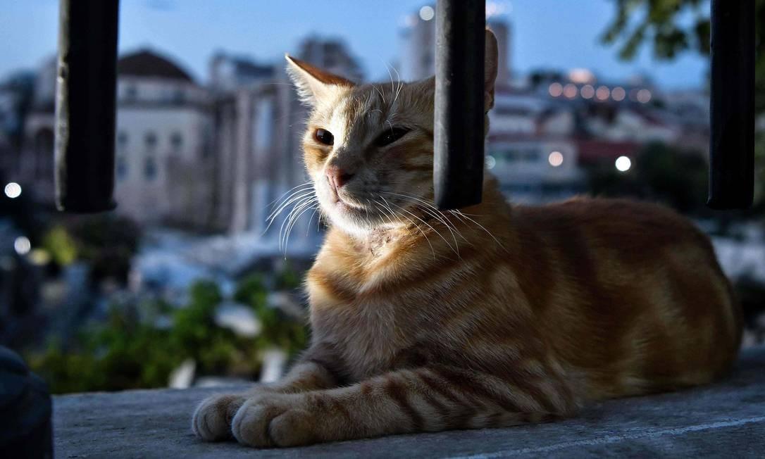 O gato é tão amado que não tem apenas uma data de celebração Foto: LOUISA GOULIAMAKI / AFP