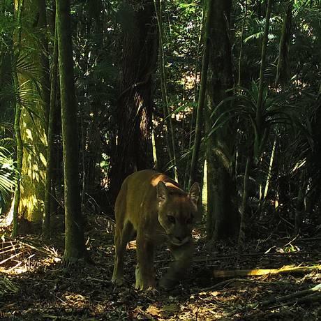 Onça parda flagrada por câmeras da UFRJ no Parque Estadual dos Três Picos Foto: Reprodução