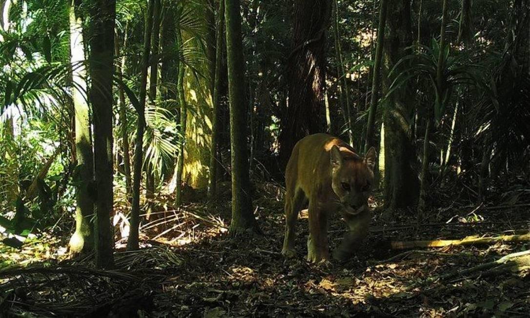 Onça parda flagrada por câmeras da UFRJ no Parque Estadual dos Três Picos Foto: / Laboratório de Ecologia e Manejo de Animais Silvestres do Instituto Federal do Rio de Janeiro (LEMAS/IFRJ)