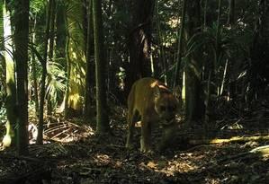 Onça parda flagrada por câmeras da UFRJ no Parque Estadual dos Três Picos Foto: Laboratório de Ecologia e Manejo de Animais Silvestres do Instituto Federal do Rio de Janeiro (LEMAS/IFRJ)