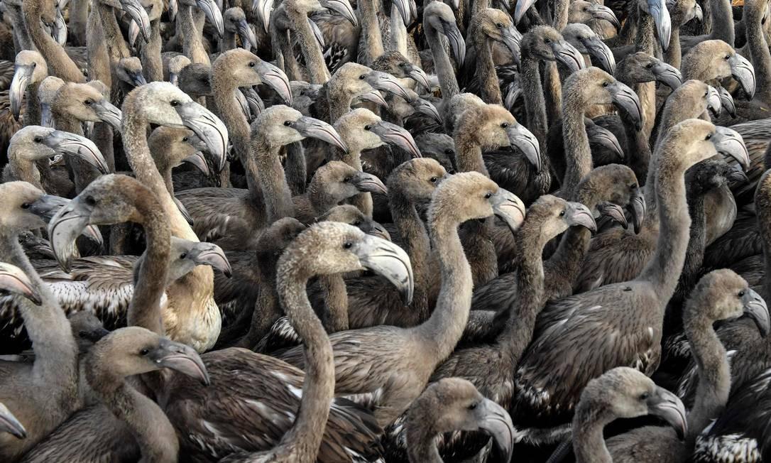 Filhotes de flamingos são libertados após serem abordados por voluntários no pântano de Aigues-Mortes, no sul da França, em 8 de agosto de 2018 PASCAL GUYOT / AFP