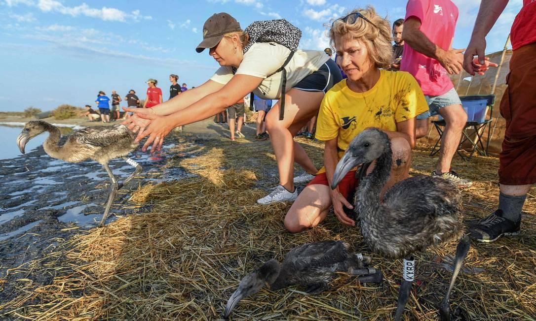 Voluntários liberam filhotes de flamingos no pântano de Aigues Mortes, no sul da França PASCAL GUYOT / AFP
