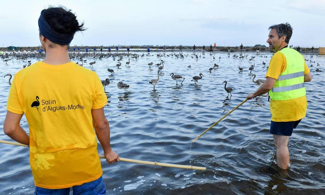 Voluntários juntam filhotes de flamingo durante uma operação de bandas no pântano de Aigues-Mortes PASCAL GUYOT / AFP