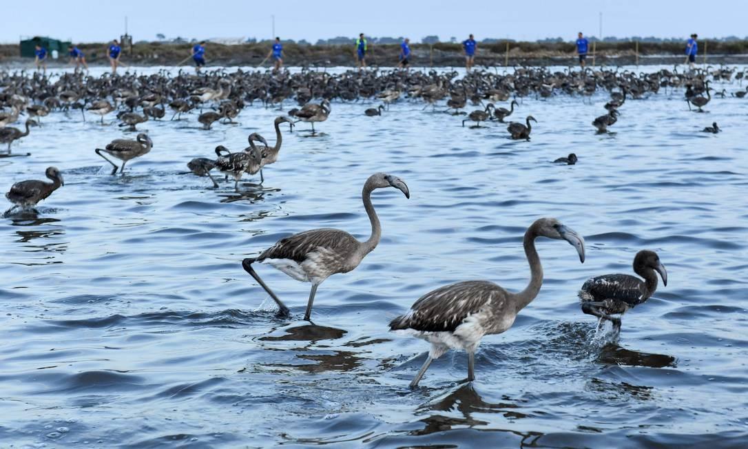 Filhotes de flamingo durante uma operação de bandas no pântano de Aigues-Mortes PASCAL GUYOT / AFP