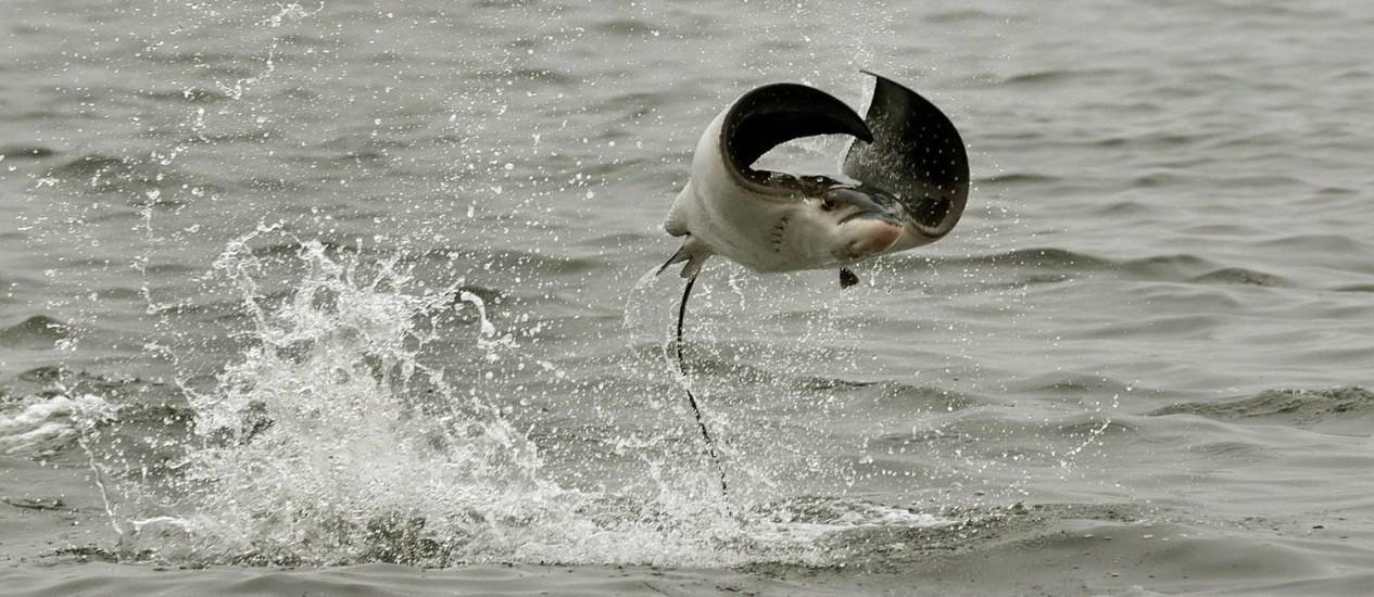 Espetáculo da natureza: arraia pula no mar, perto do Forte da Urca Foto: Marcio Alves / Agência O Globo