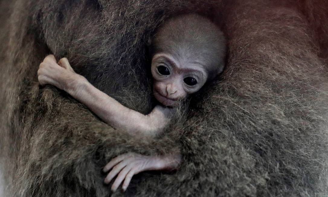 Um gibão-prateado recém-nascido no zoológico de Praga Foto: DAVID W CERNY / REUTERS/14/08/2018