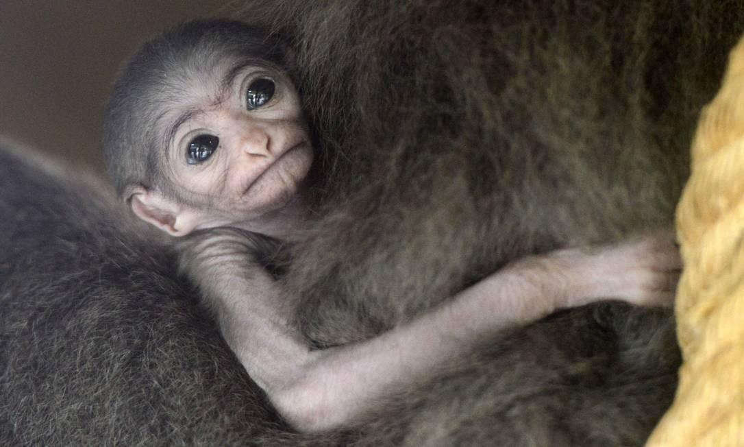 """O """"bebê gibão-prateado"""" foi apresentado ao público nesta semana Foto: MICHAL CIZEK / AFP"""
