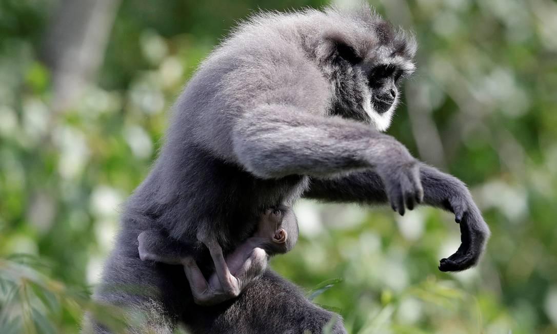 O filhote passa quase todo o tempo agarrado em sua mãe Foto: DAVID W CERNY / REUTERS
