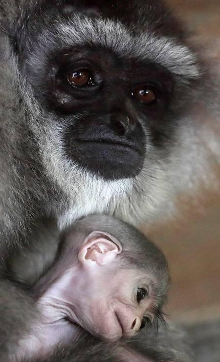 Quando crescer, o macaquinho terá a face negra contornada por característicos pelos acinzentados. Ao nascer, ele ainda tem a face pelada e rosada Foto: DAVID W CERNY / REUTERS