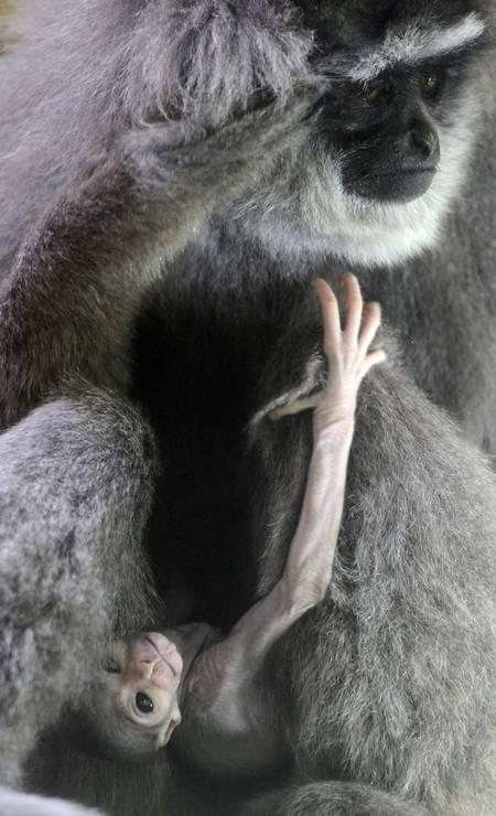 Os braços compridos do filhote chamam atenção Foto: MICHAL CIZEK / AFP