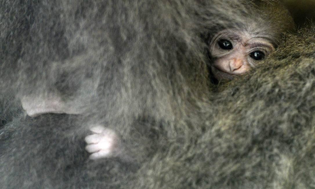 O bebê macaco envolto nos pelos de sua mãe Foto: MICHAL CIZEK / AFP