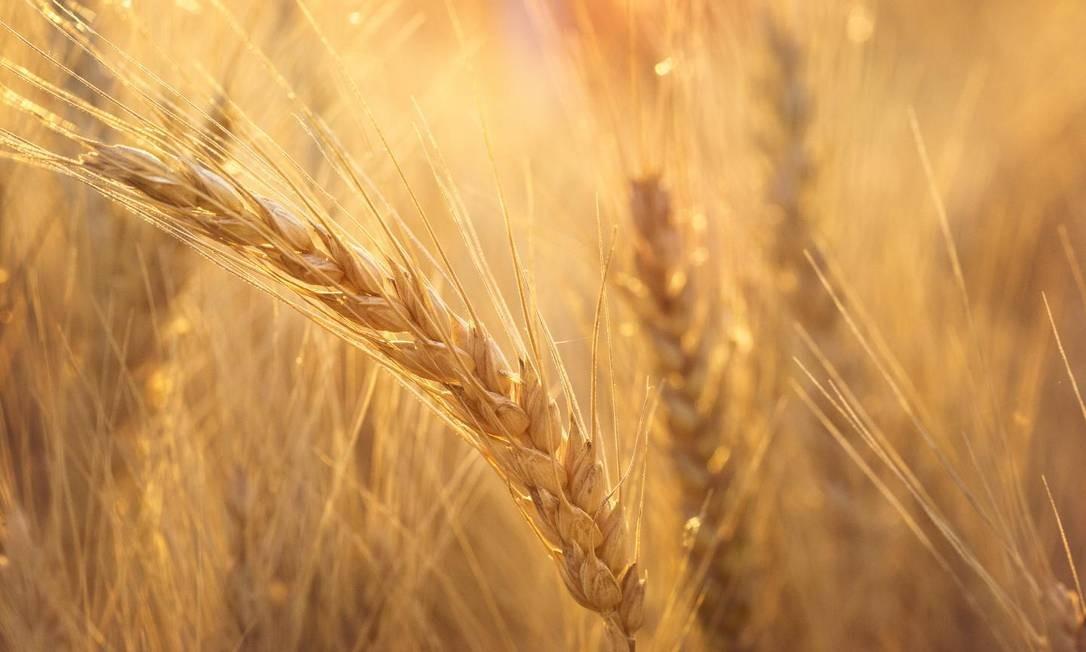 O sequenciamento do genoma do trigo deve acelerar o desenvolvimento de novas variedades Foto: / Kansas State University