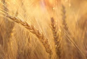 O sequenciamento do genoma do trigo deve acelerar o desenvolvimento de novas variedades Foto: Kansas State University