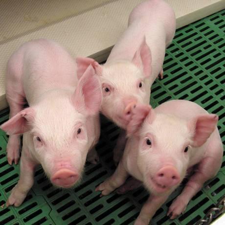Matadouro ficará fechado por seis semanas do matadouro depois que cerca de 30 suínos morreram devido à doença Foto: Reuters