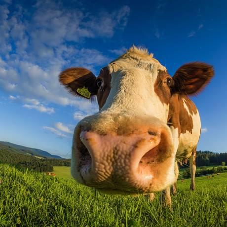 Alimentação no pasto: um dos mandamentos Foto: Hermann Schmider / Pixabay