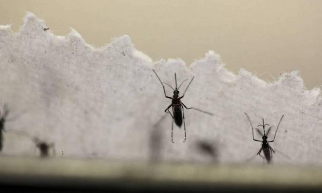 O mosquito Aedes aegypti é o transmissor da febre amarela Foto: Reuters