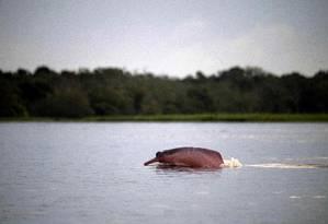 Boto-cor-de-rosa é flagrado por pesquisadores ao subir para respirar: contagem dos animais ganha ajuda de drones e inteligência artificial Foto: Mauro Pimentel / AFP