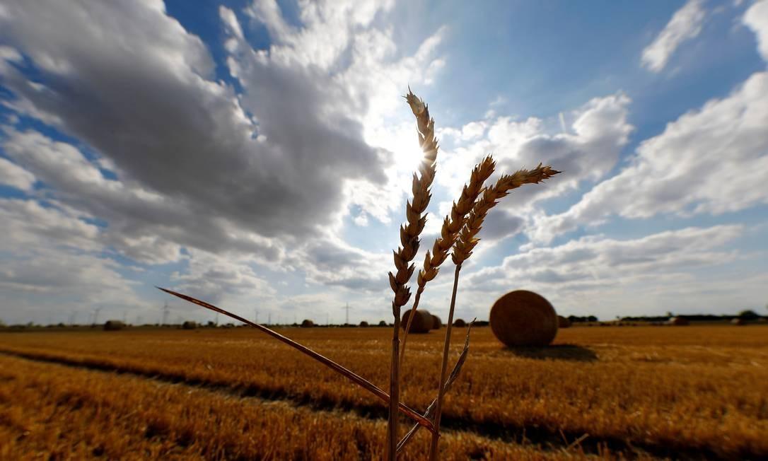 Culturas como o trigo perderão concentração de nutrientes com o avanço das emissões de carbono Foto: Kai Pfaffenbach / REUTERS