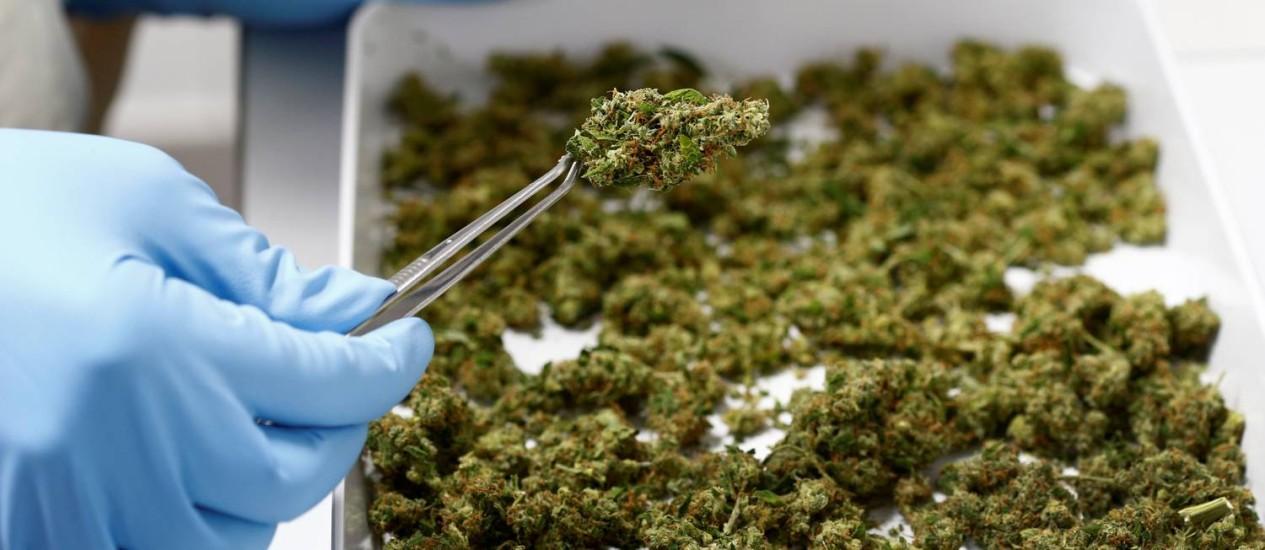 Funcionário da fabricante alemã de remédios herbais Bionorica manipula amostras de maconha: pesquisas sobre efeitos da droga são cada vez mais necessárias à medida que mais e mais países legalizam uso medicinal e recreativo Foto: Reuters/MICHAELA REHLE
