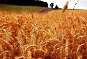 Plantação de trigo: geralmente cultivado em países mais frios, grão será o mais atingido Foto: Keith Ewing