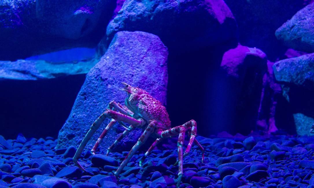 O caranguejo aranha gigante chegou ao AquaRio há duas semanas Foto: Márcia Foletto / Agência O Globo