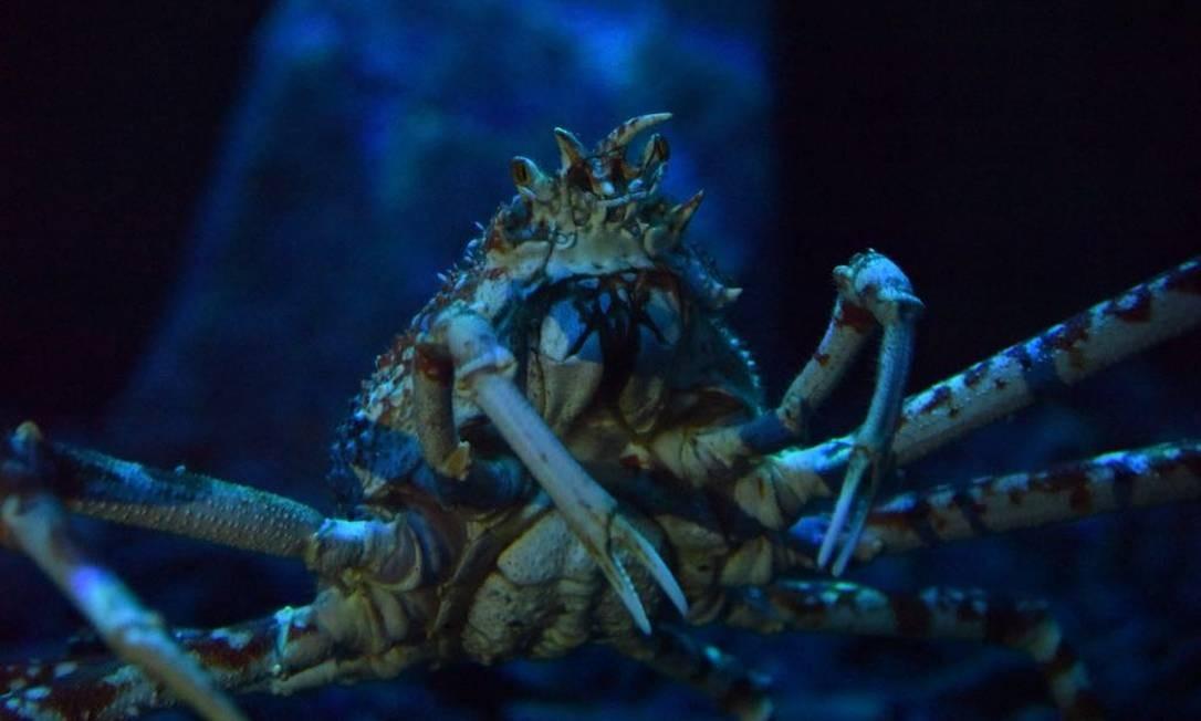 Uma das três fêmeas de caranguejo aranha gigante do AquaRio Foto: Márcia Foletto / Agência O Globo