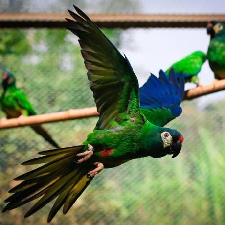 As aves que foram soltas na semana passada num sítio na Zona Oeste: animais eram de um criador Foto: Roberto Moreyra / Agência O Globo