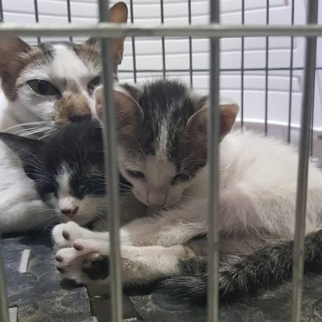 Gatos salvos durante incêndio no Museu Nacional foram levados para a clínica veterinária no Recreio dos Bandeirantes Foto: Katia Gonçalves / Agência O GLOBO