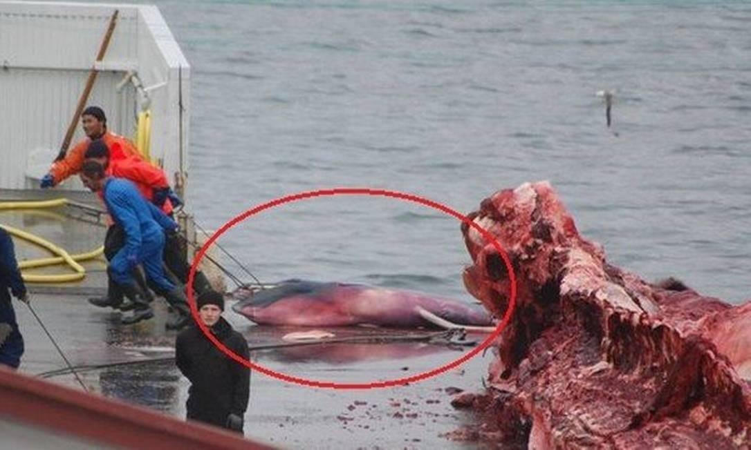 O feto de uma baleia caçada nas águas da Islândia foi jogado no lixo pelos caçadores, já que não tinha qualquer serventia comercial: país é um dos que desrespeitam moratória. Japão deixará acordo no ano que vem. Foto: Sea Shepherd UK